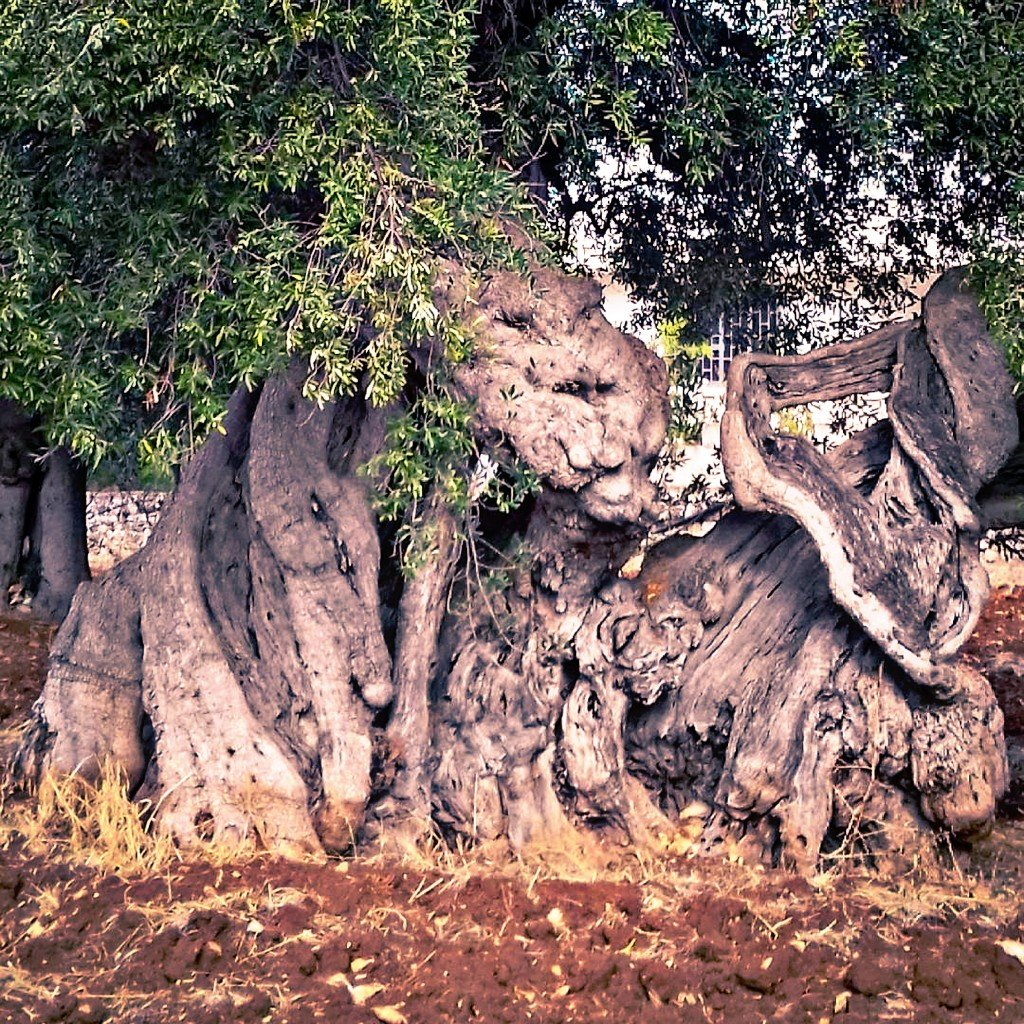 Ulivo con tronco immenso e contorto simile a una scultura. Foglie verde-argento