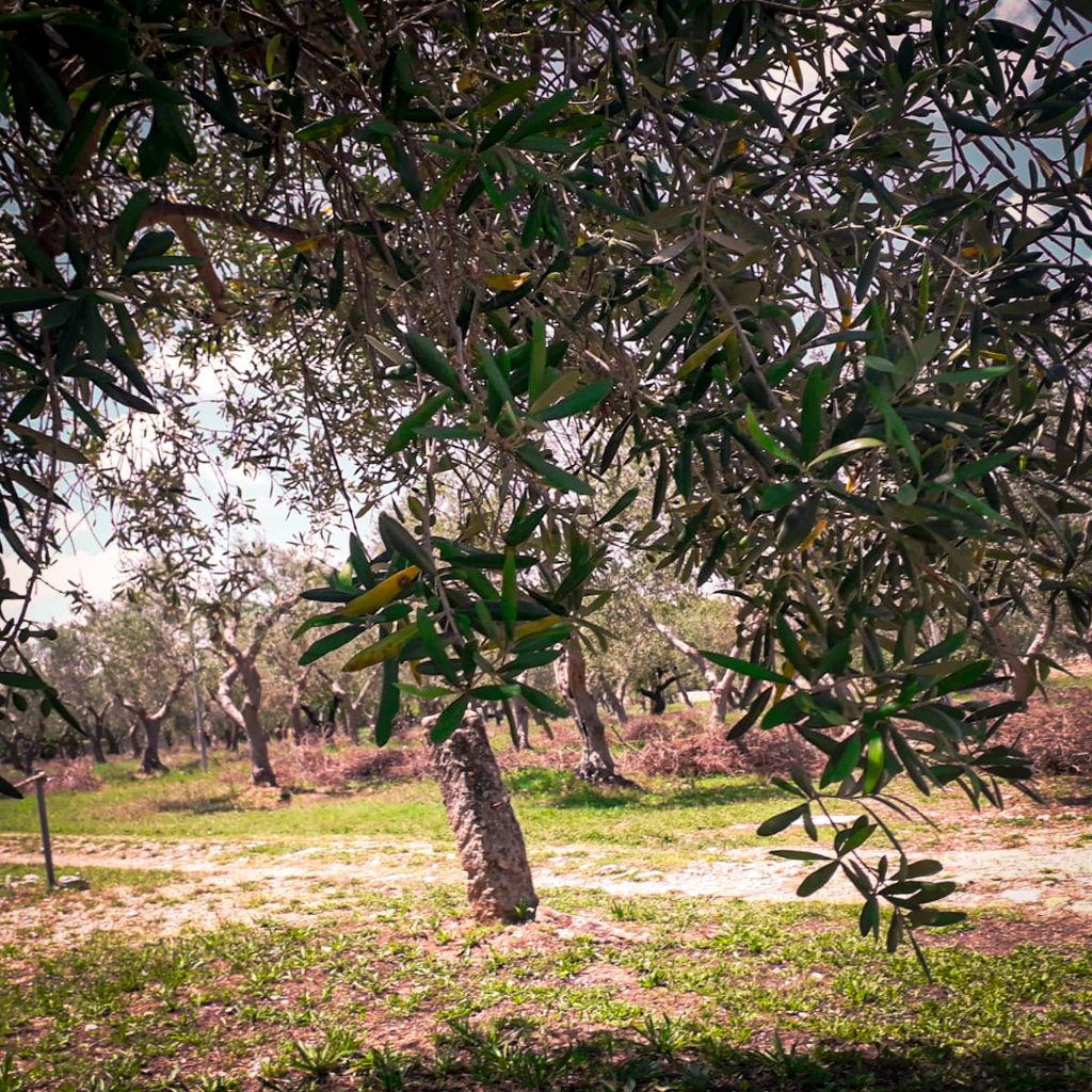 ulivi pugliesi dall'antico casale di Balsignano