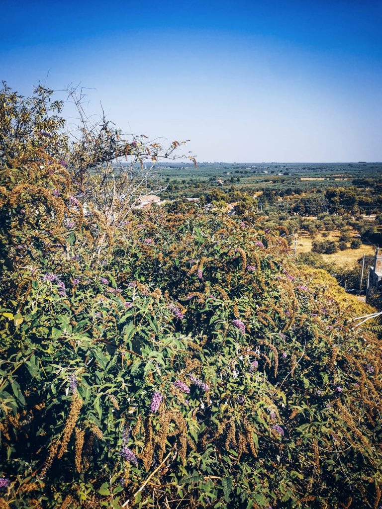 Belvedere. Oltre una pianta di glicine si estende l'immensa piana degli ulivi