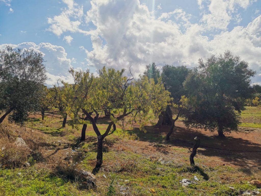 Topofilia: paesaggio con ulivi e mandorli