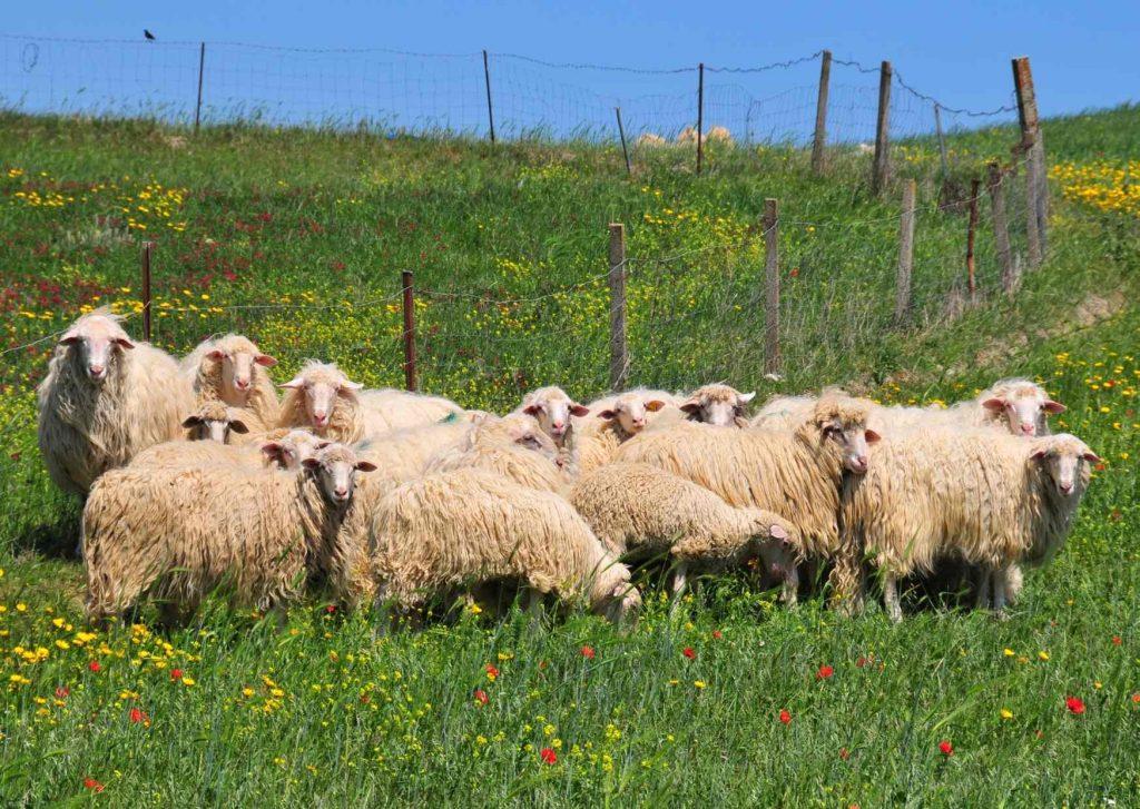 Gregge di pecore del Campidano che brucano l'erba