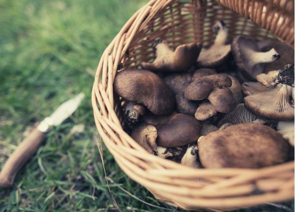 Cesta ricolma di funghi cardoncelli sul prato. Coltello usato per coglierli.