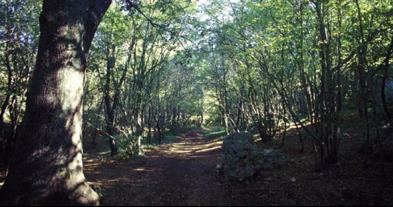 Fitto bosco con sentiero poco battuto. Ponte di alberi