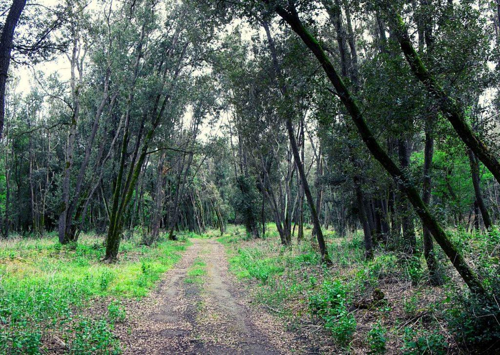 bosco di Mesola con sentiero che si addentra fra alberi inarcati come fossero un ponte naturale